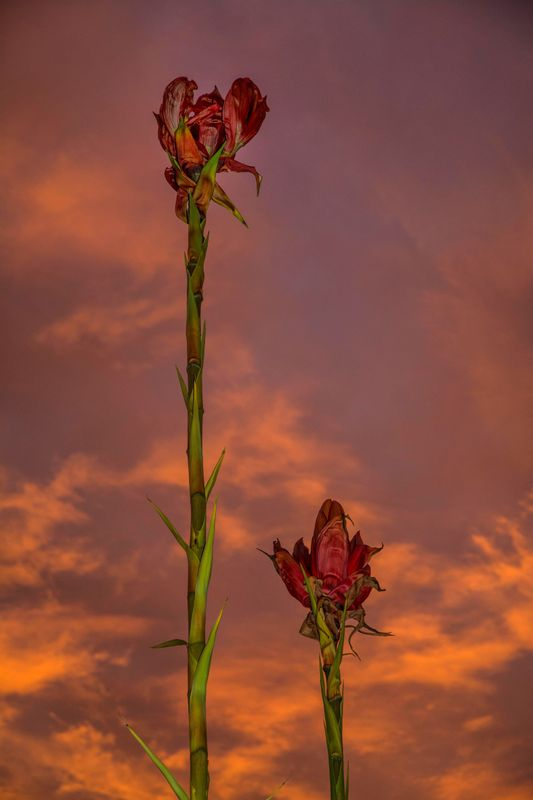 Red hot sky with Gymea lilies