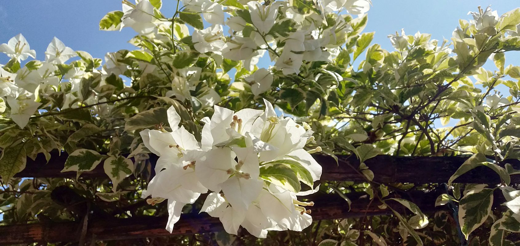 Close Up of White Bougenville Flowers