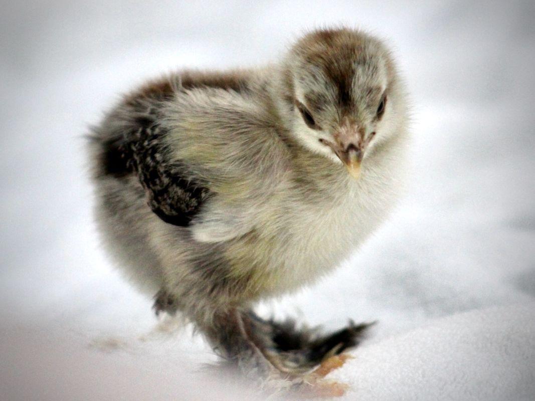 Fierce chick