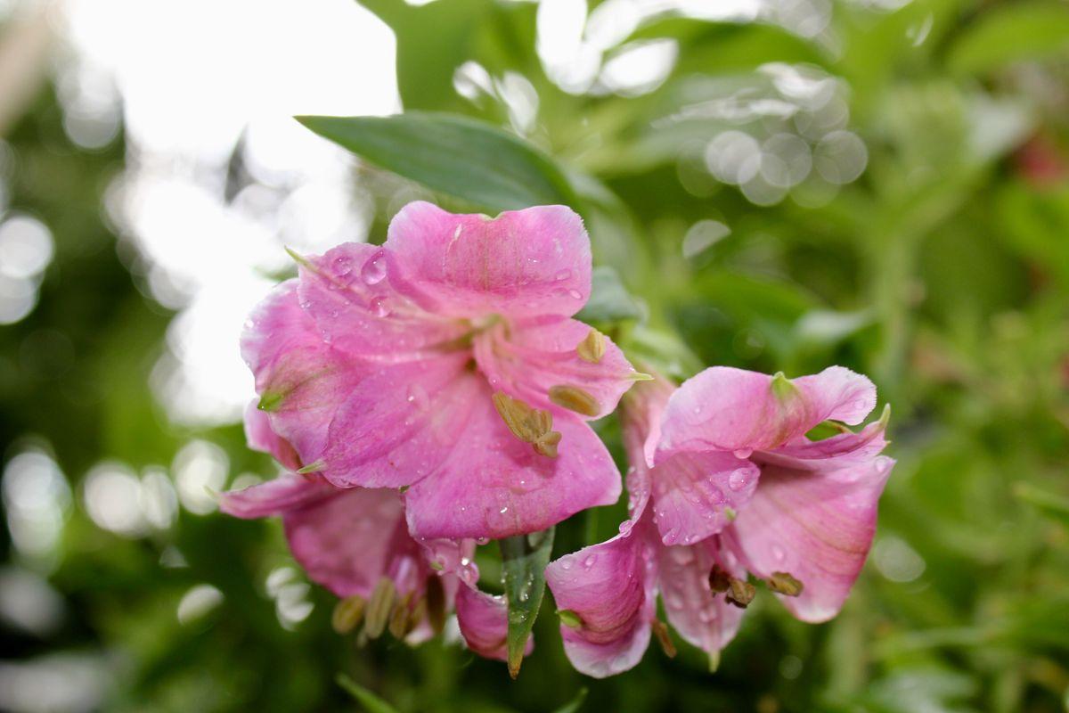 Geraniums in Full Bloom!