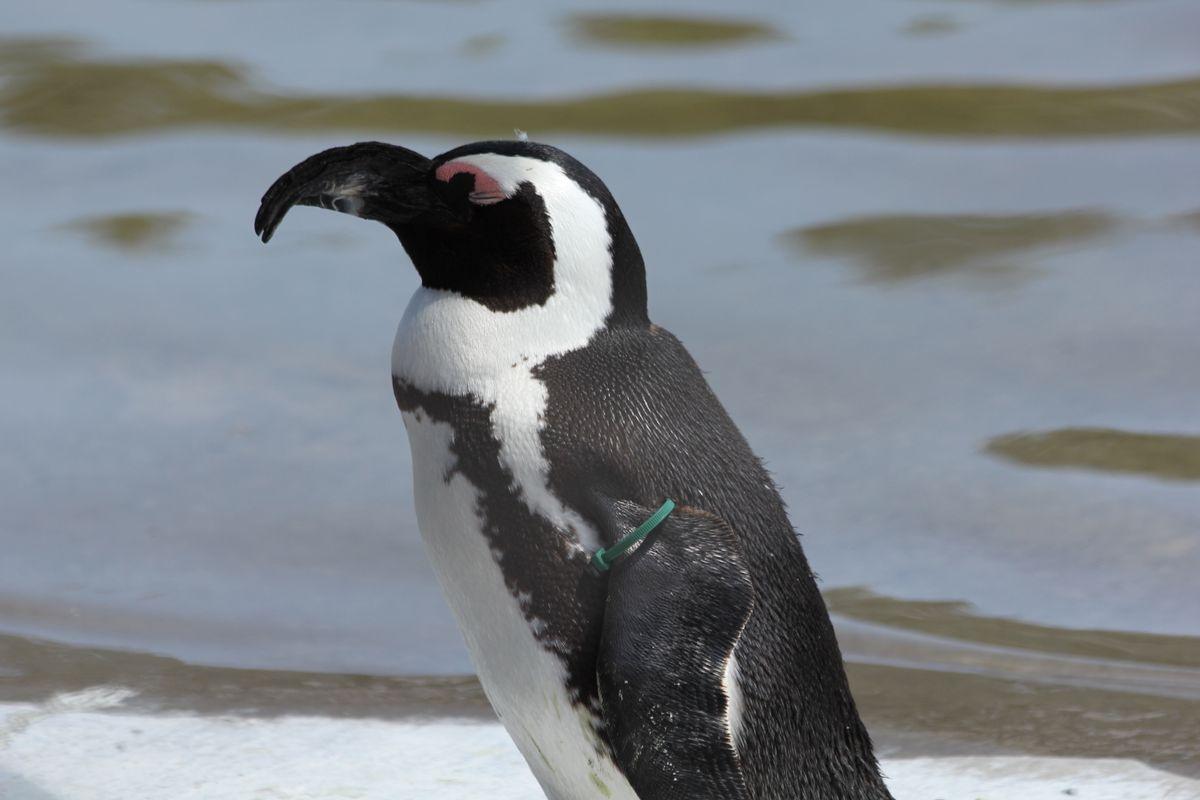 Sleepy Penguin --Animal