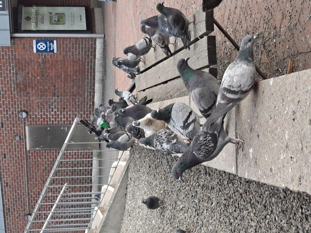 Pigeons at Helsfyr