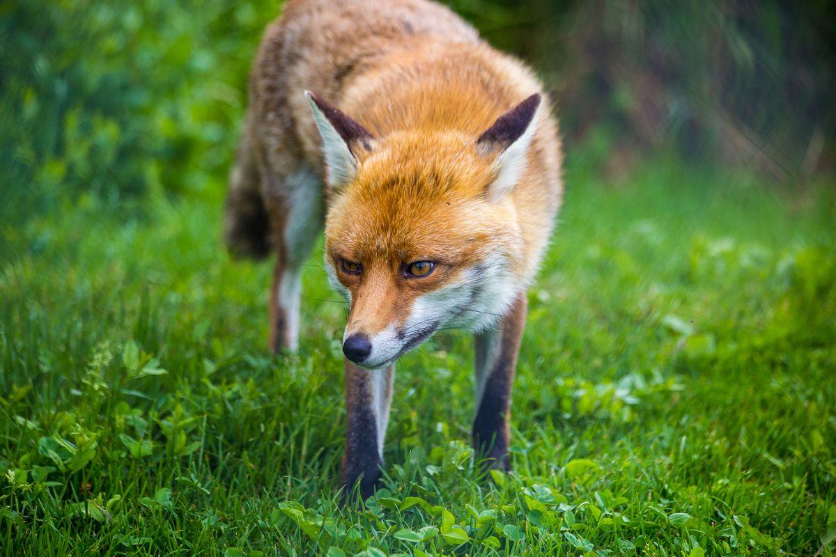 Fox close up portrait