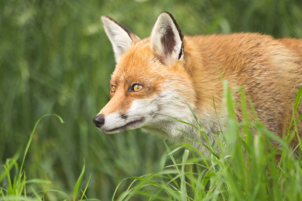 Fox grass
