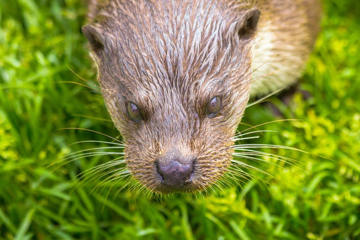 Otter face close up