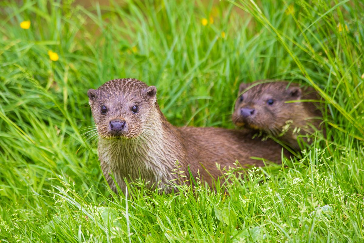 Pair of playful otters