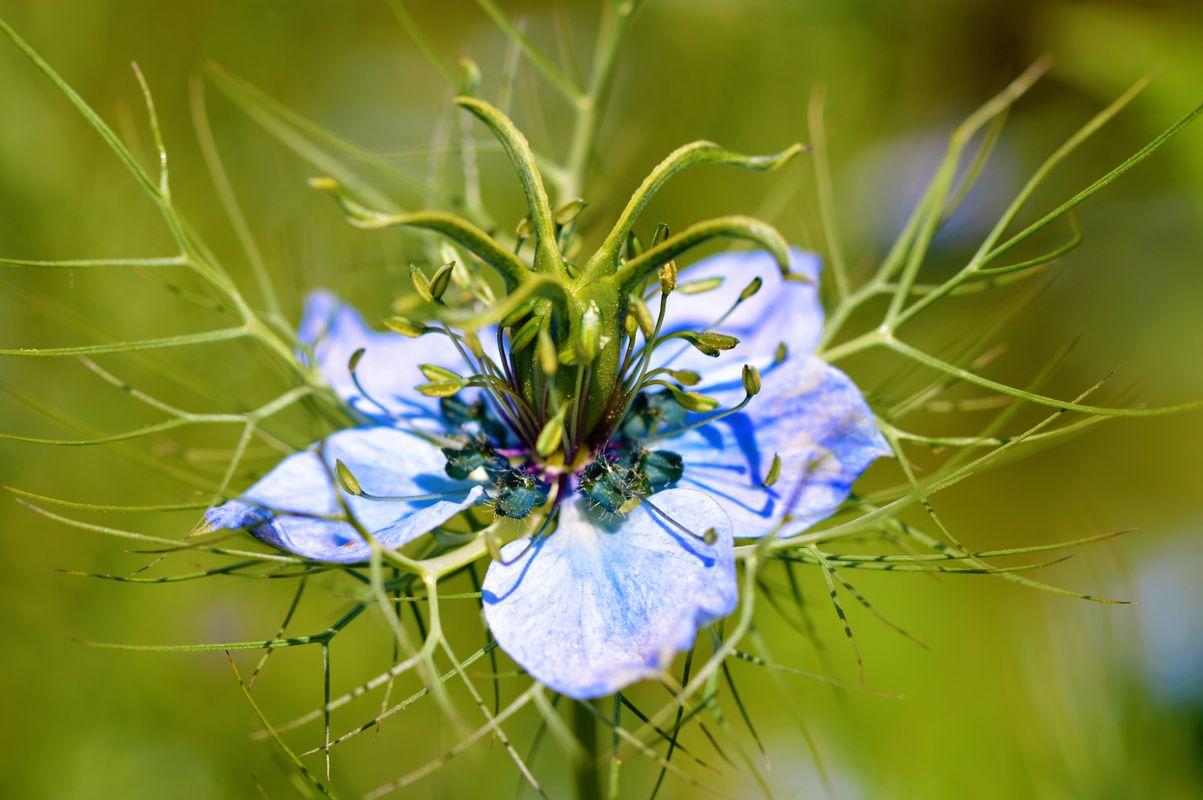 Nigella Flower.