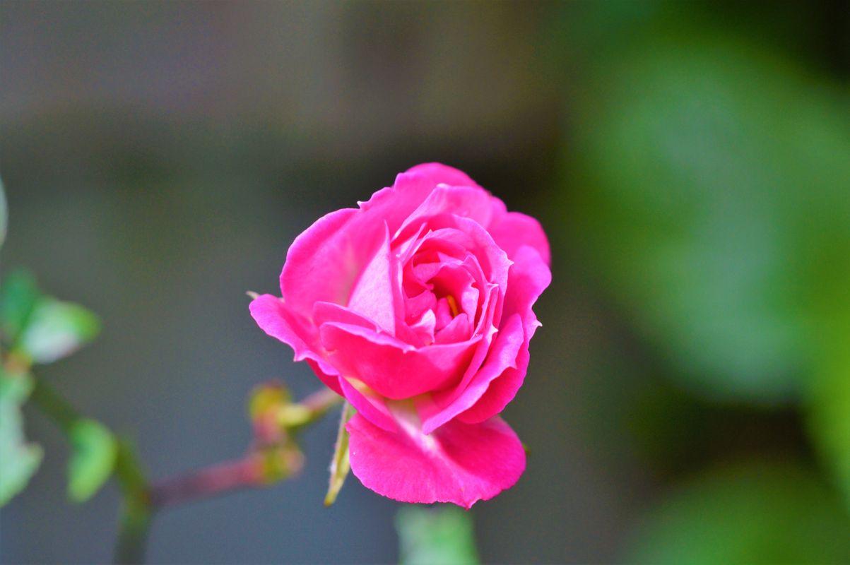 Miniature Rose.