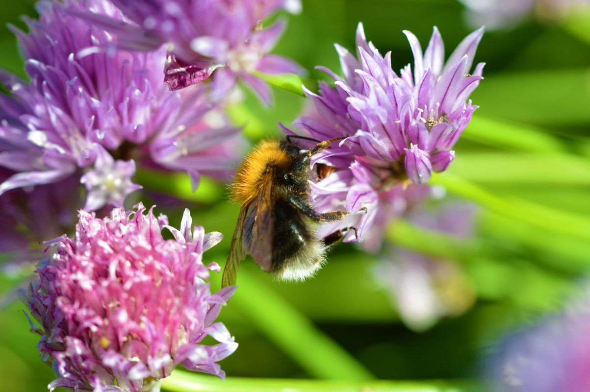 Chive and Bee.