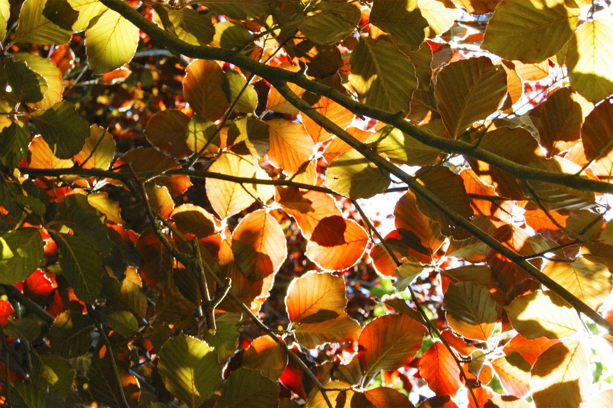 Copper Beech Leaves.
