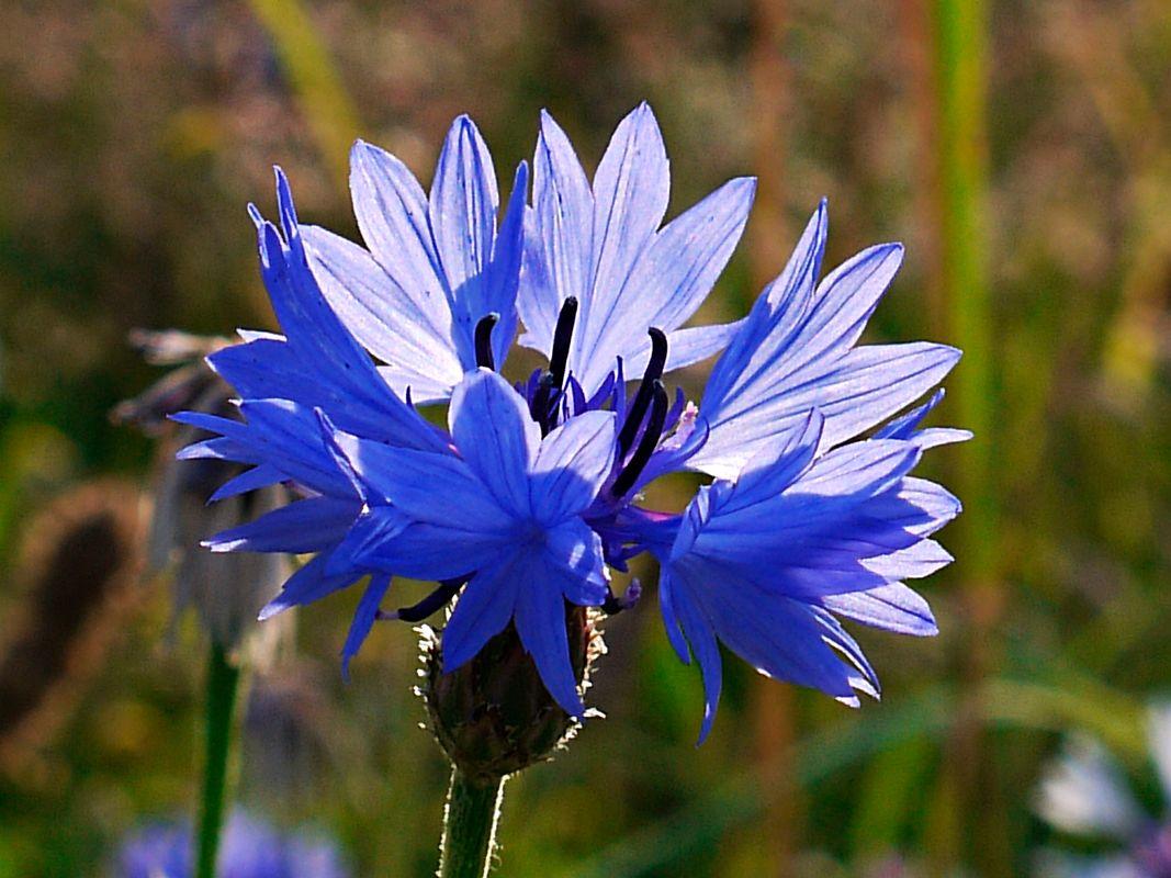 Bluesflowers
