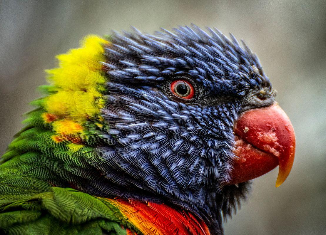 Rainbow lorikeet III