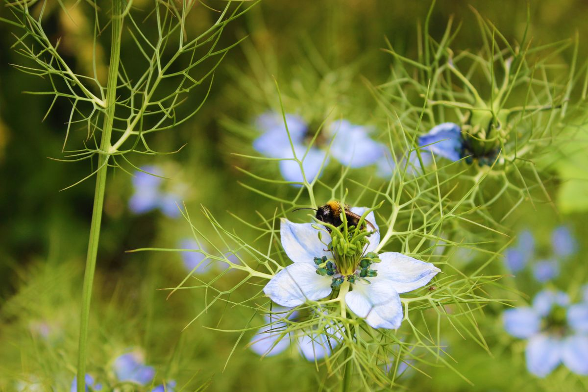 Nigella flower with a bee