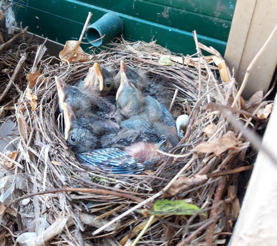 Baby blackbirds