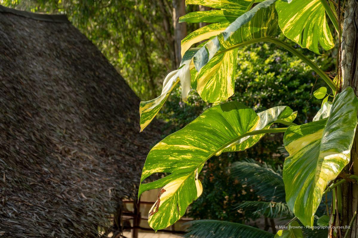 Tra Su Leaf