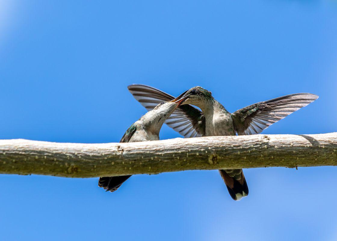 Feeding time at Hummingbirds Family