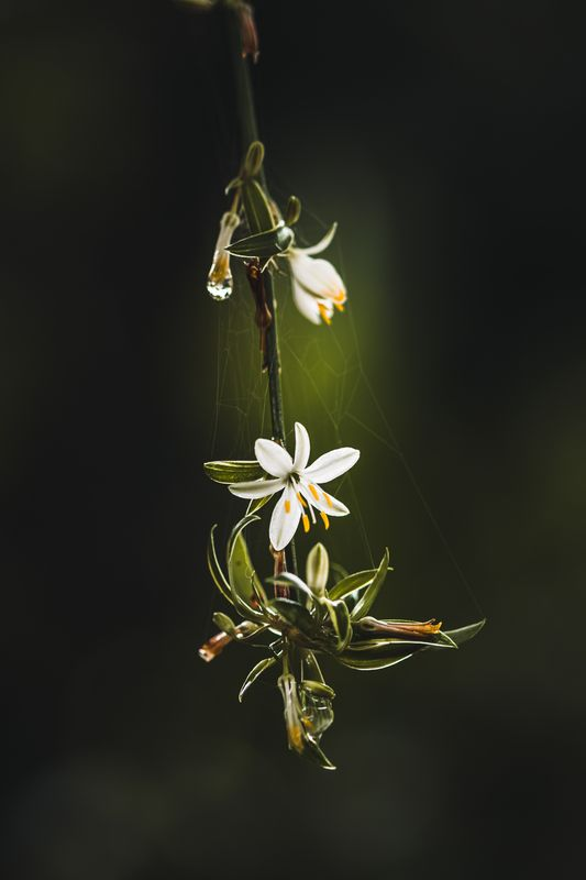 Spider ivy blossom