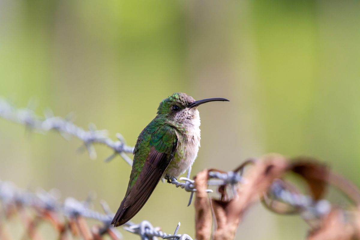Hummingbird sitting on Barbed Wire