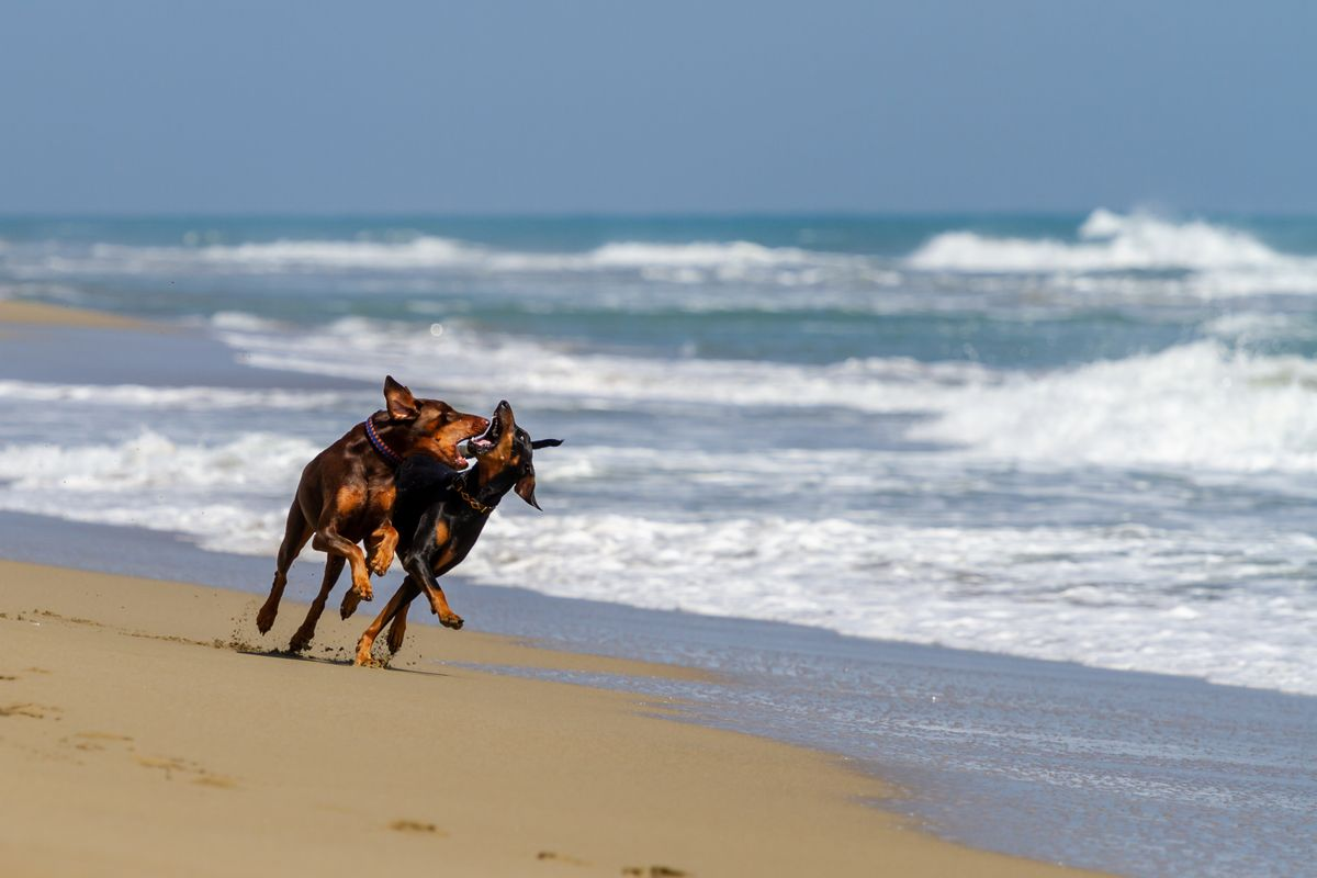 Dobermans playing at the beach
