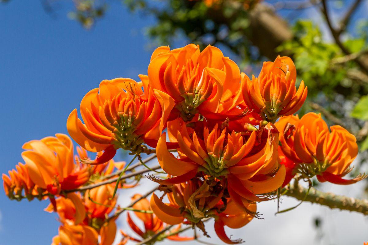Amapola - Erythrina poeppigianaone Flower