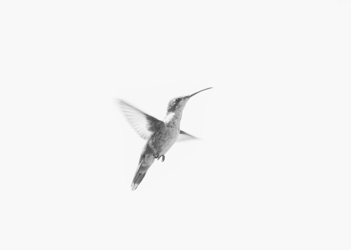 Hummingbird in flight in black and white