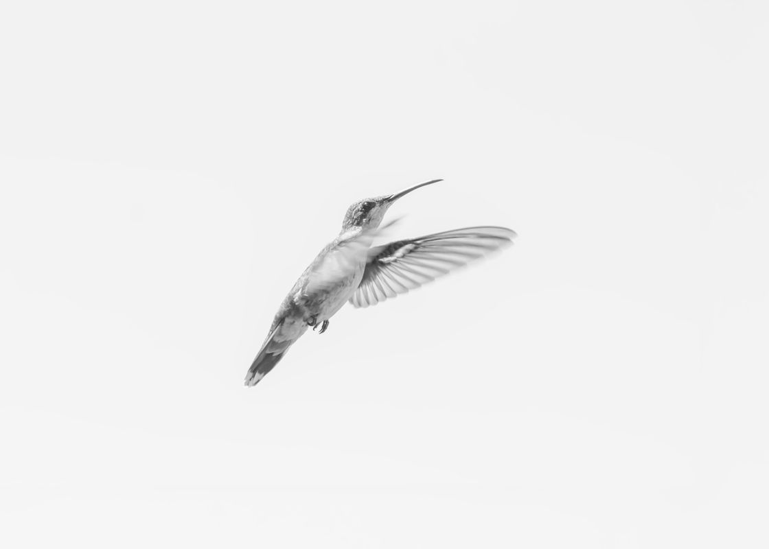 Hummingbird in flight in black and white 2