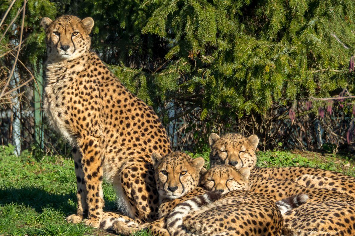 Cheeta   00001