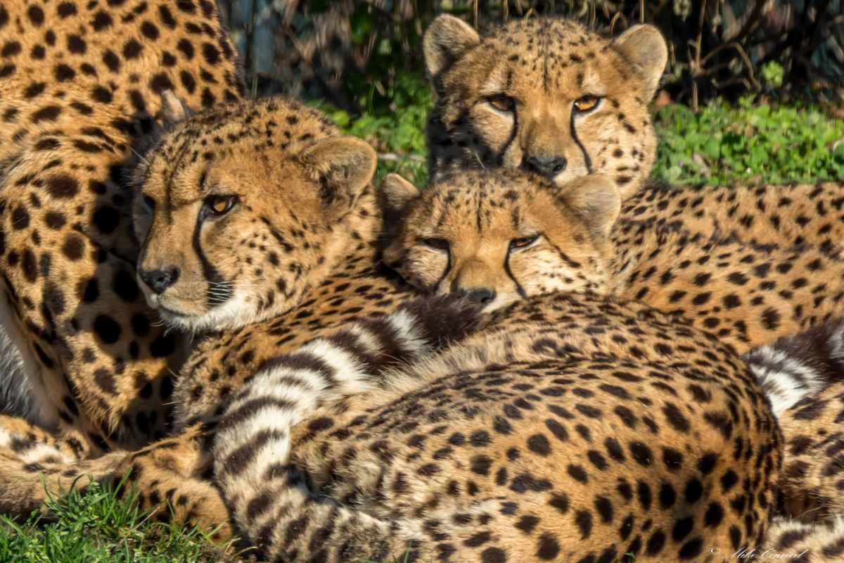 Cheeta   00002