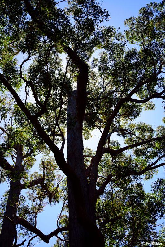 Majestic tingle tree