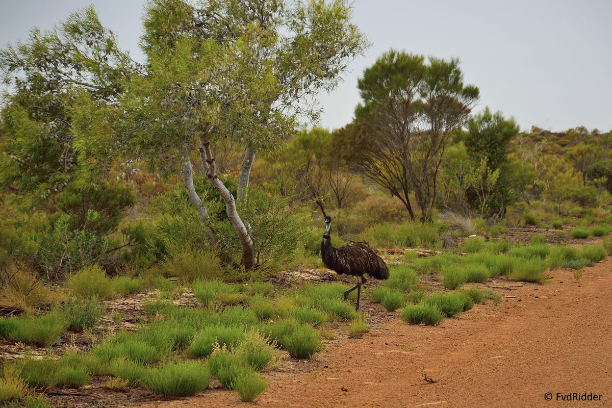 Crossing emu