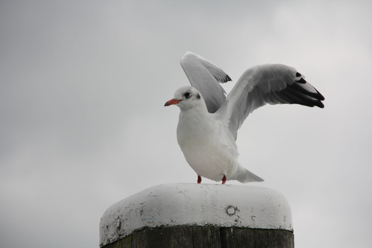 The dancing Gull