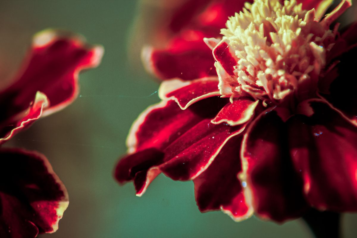 Close-up on pale red flower