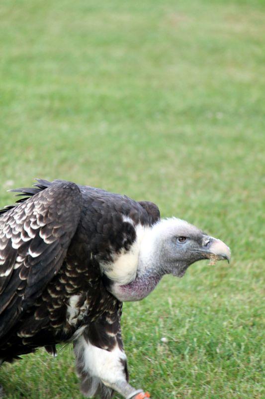 Old man vulture