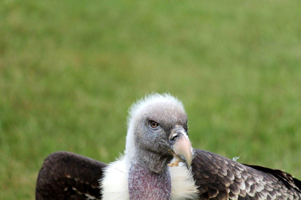 Old man vulture 2