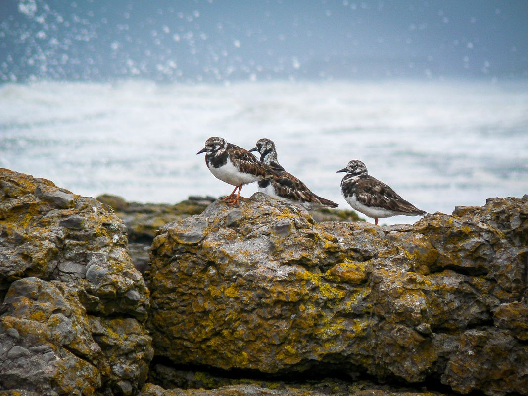 Sker Beach Birds_3