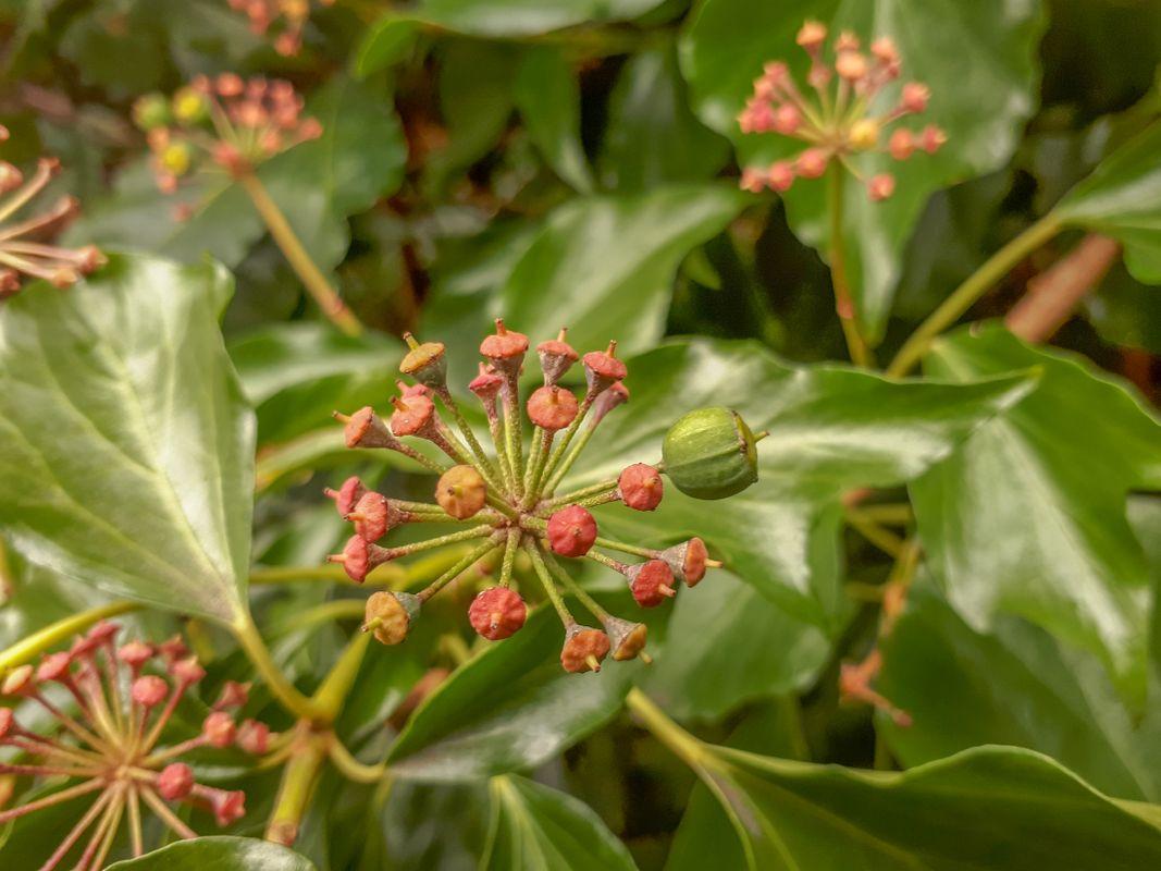 Pink Ivy Berries Amidst Green Leaves