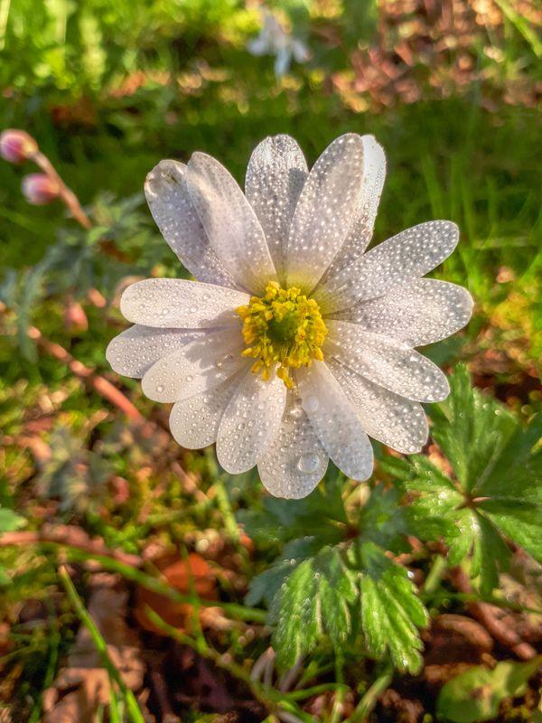 Raindrops on Anemone Blanda White Splendour Flower
