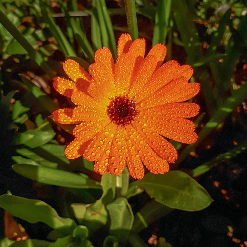 Raindrops on Orange Common Marigold / Calendula Flower
