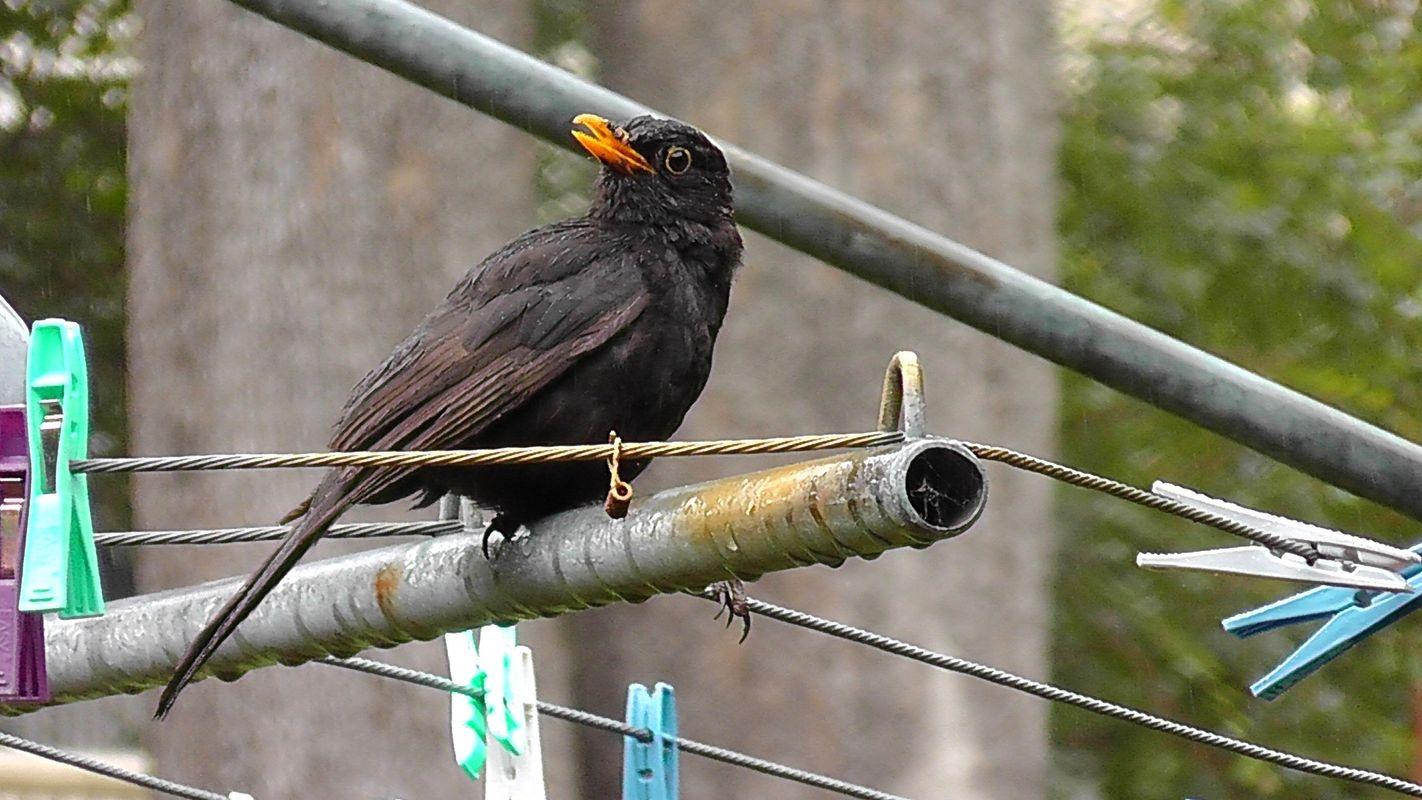 Blackbird Mum in the Rain