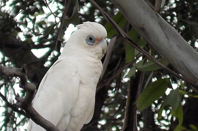 White Corella