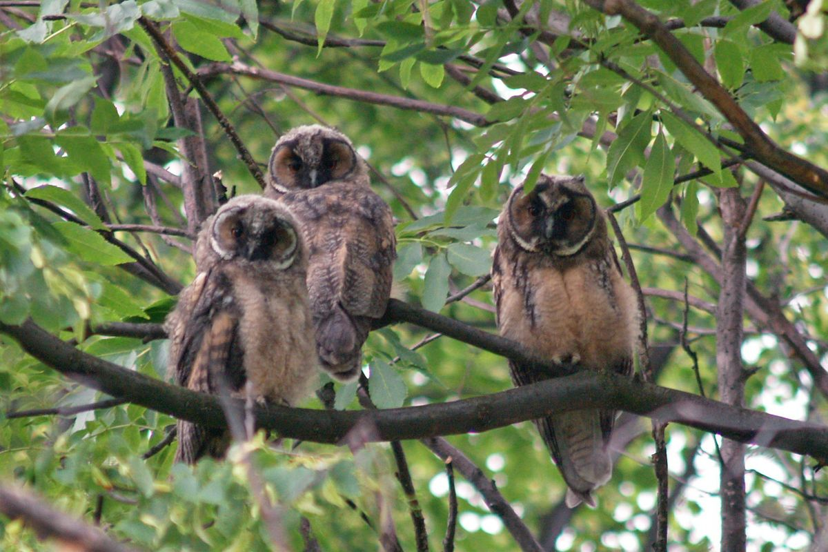 Three young owls in a tree