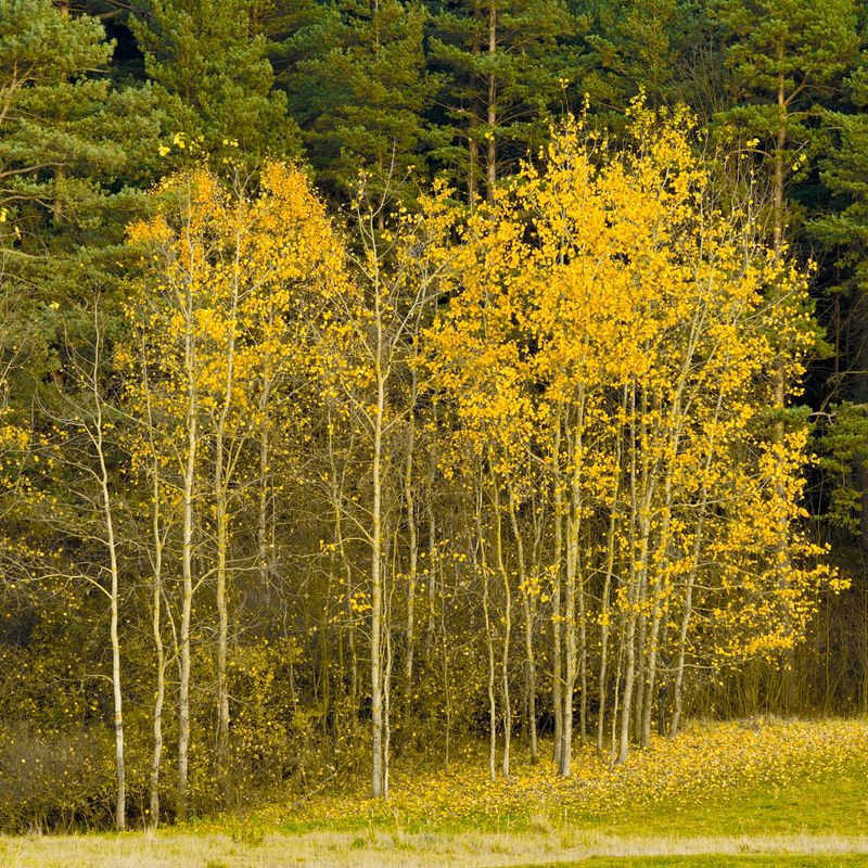 Autumn trees in yellow