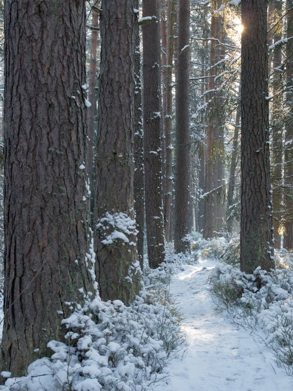 Snowy path in a forest