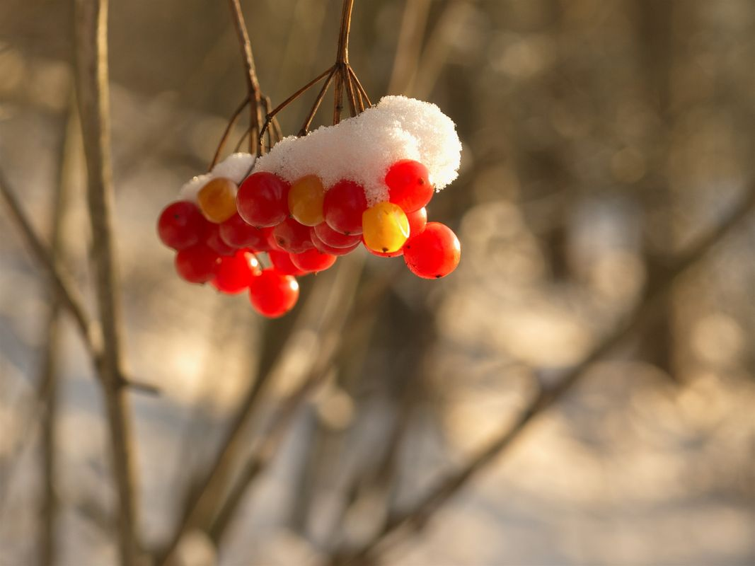 Berries with a snow cap 2