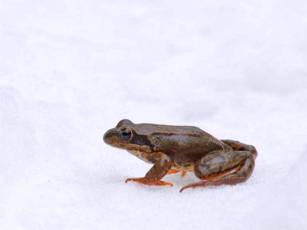 Little frog contemplating in the snow