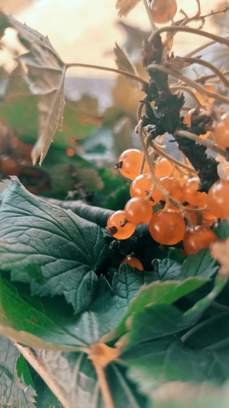 Hot summer fruit, red currant