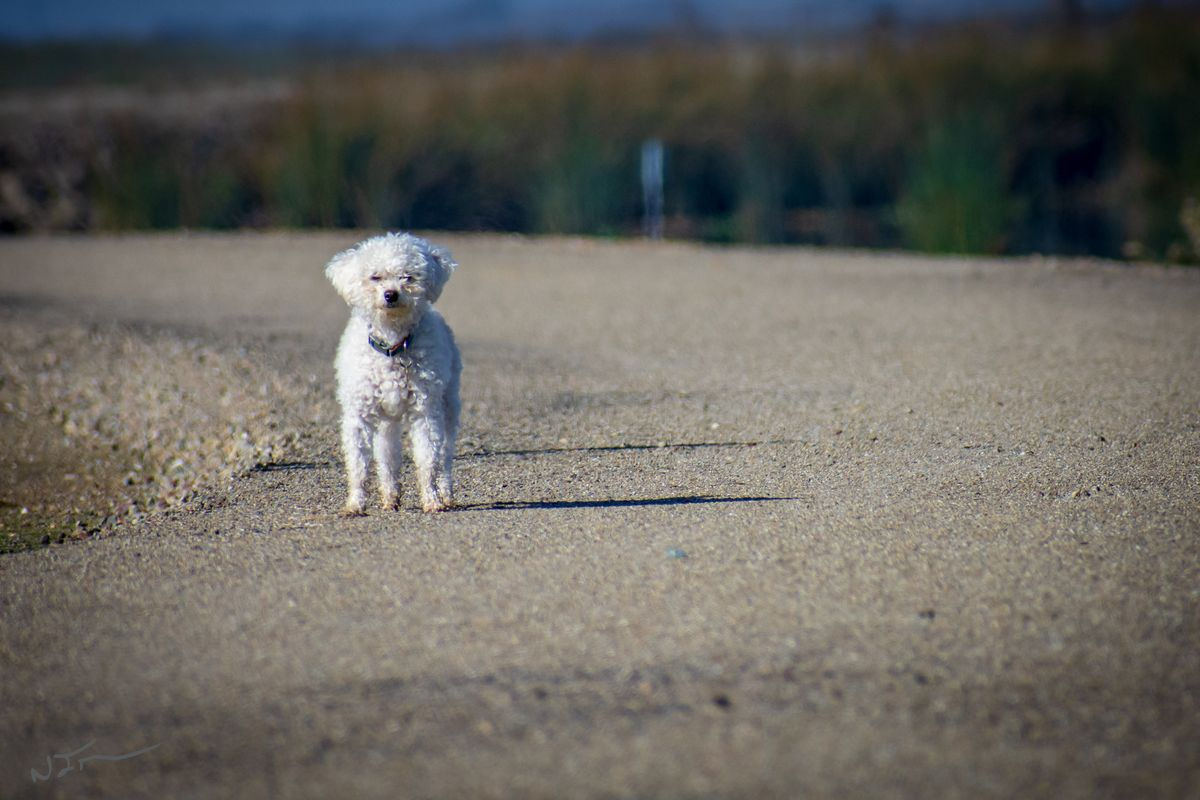 Poodle on the pathway