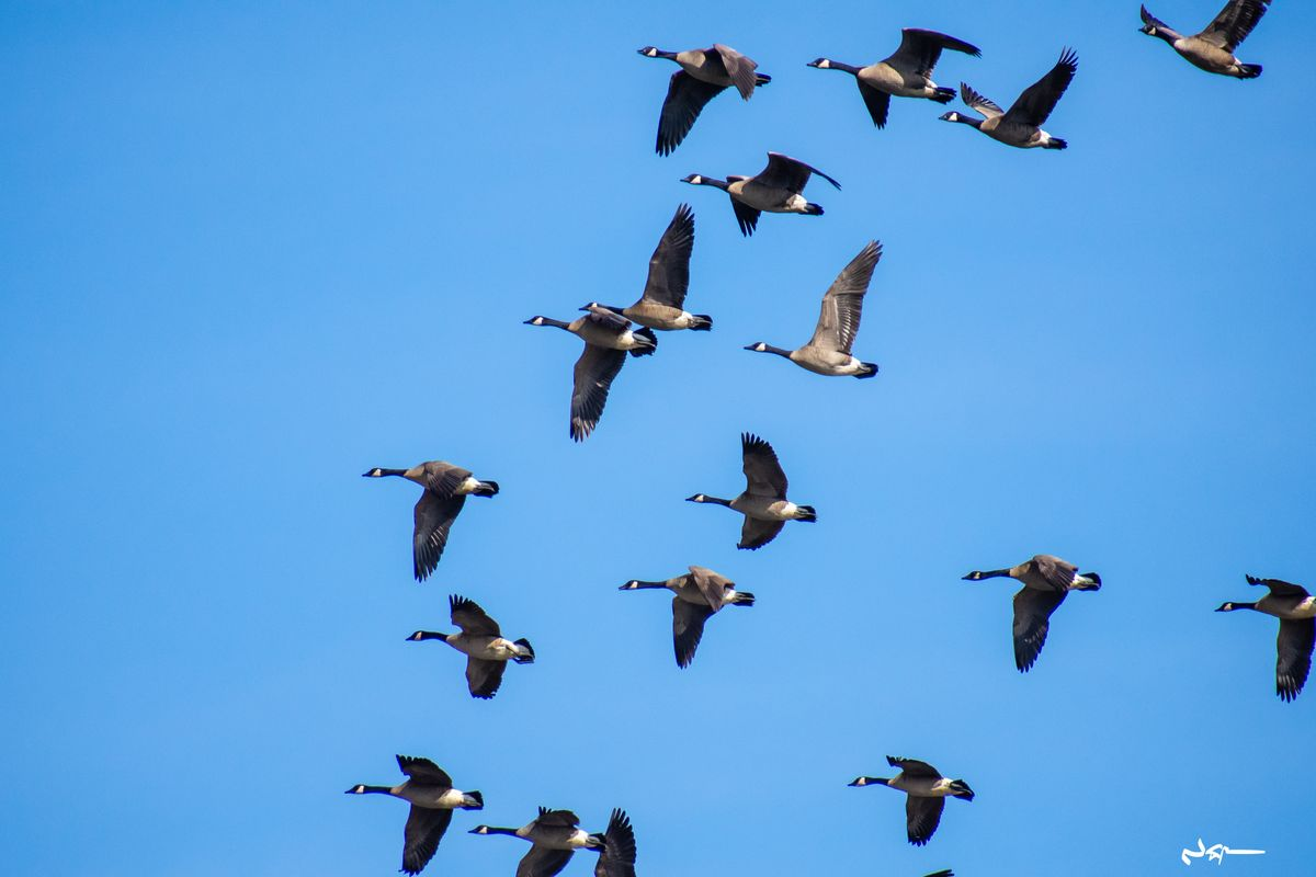 Flock of geese migrating south for the winter