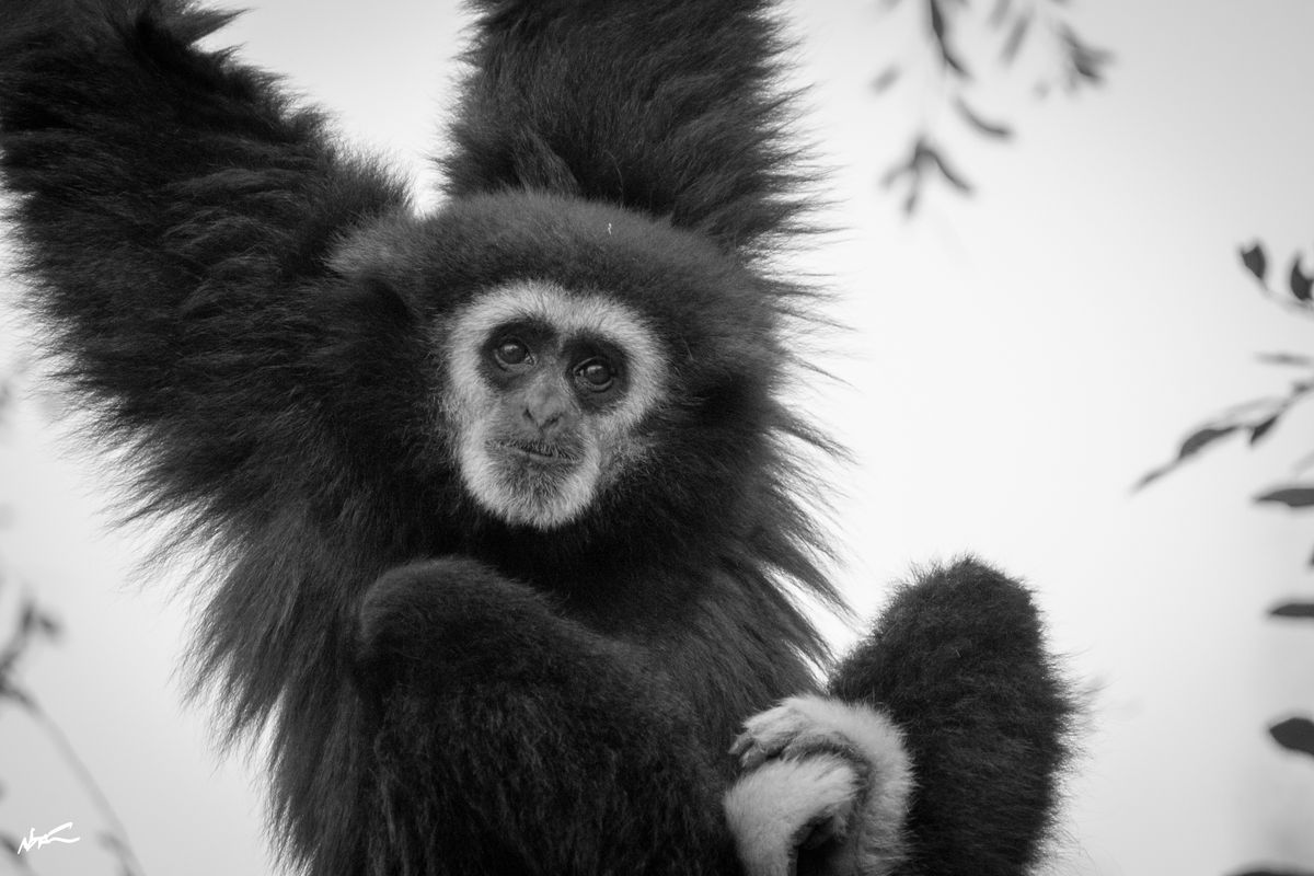 Black Gibbon hanging in the trees