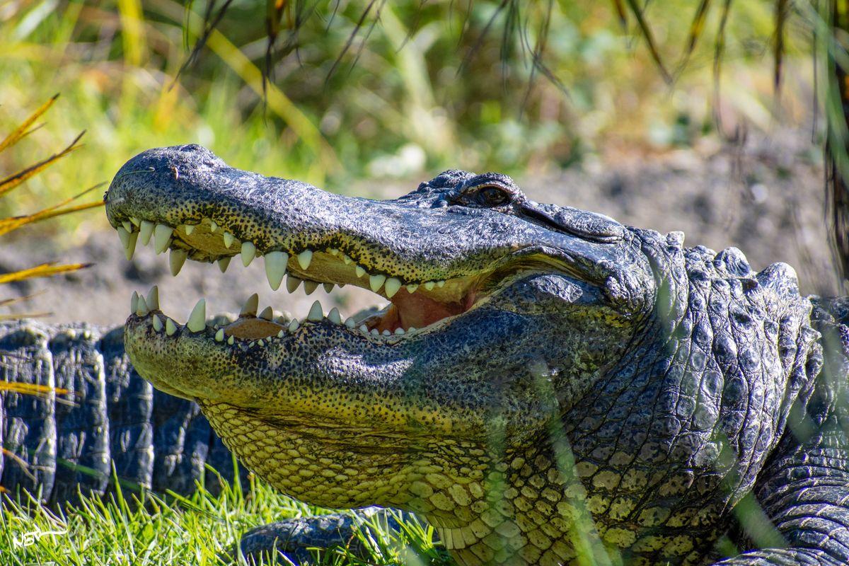 American alligator side-profile
